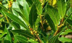 Kendertér - bay leaf 300x180