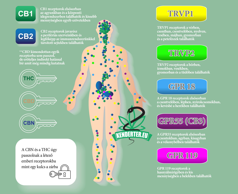 Kendertér - cb receptorok reszletesen