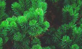Kendertér - pine tree 300x180