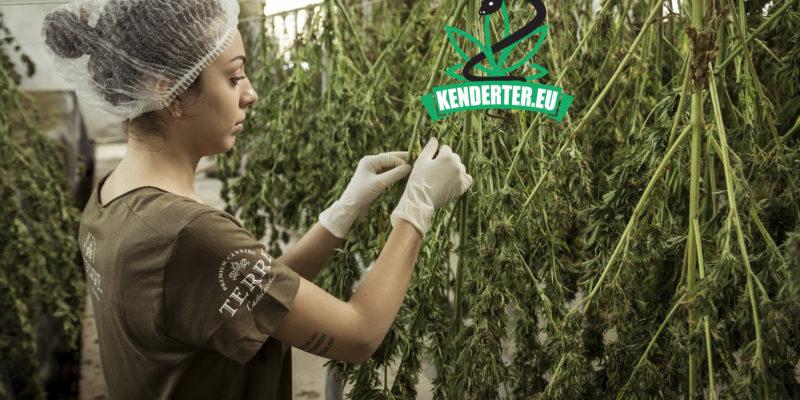 Kendertér - A kannabiszipar majdnem 250 000 munkahelyet teremtett az elmúlt pár év során - kannabisz munkahelyek 800x400