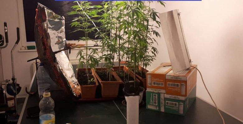 Kendertér - Beltéri kannabiszültetvényeket számoltak fel a Hargita megyei rendőrök - b cannabis1 ipj szh1 780x400