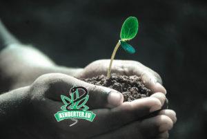 Tanulmányok eredményei alapján a kender megtisztítja a mérgező talajt miközben tiszta CBD virágzatot növeszt