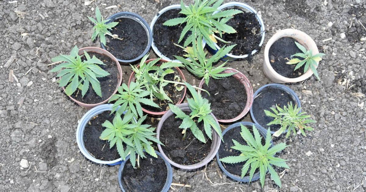 Kendertér - Kannabiszt termesztett Balatonakarattya határában – elfogta a rendőrség - 32177