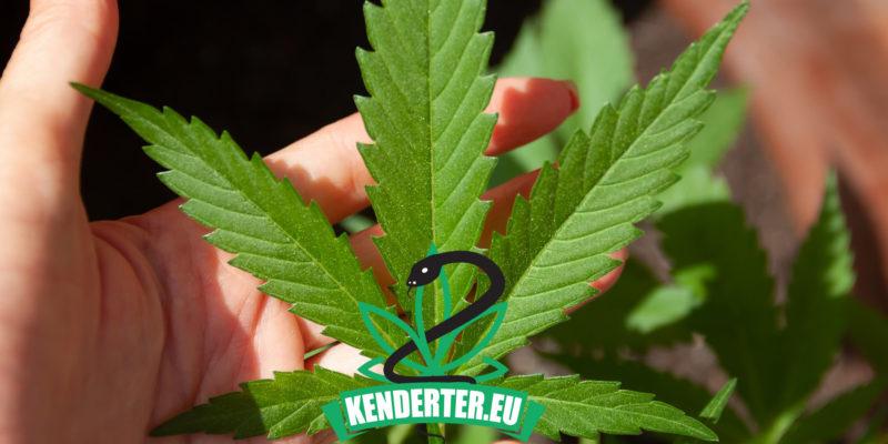 Kendertér - Vajon a kannabisz helyi termesztésével, esnek majd az árak Németországban? - dea cbd 800x400
