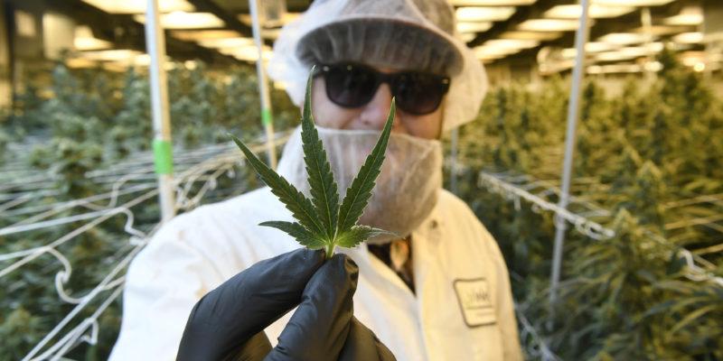 Kendertér - Gyógyíts meg, kannabisz, avagy mit keres a marijuana a bioboltokban? - 277437 800x400