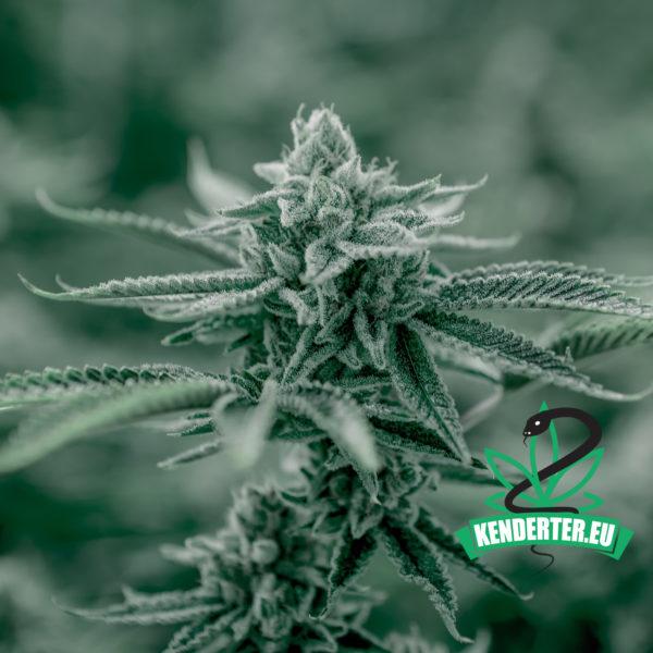 Kendertér - A cseh kormány jóváhagyta a módosítást, amely lehetővé tenné az orvosi kannabisz termesztésére vonatkozó engedélyek kiadását - csehorszag kannabisz 600x600