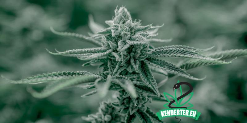 Kendertér - A cseh kormány jóváhagyta a módosítást, amely lehetővé tenné az orvosi kannabisz termesztésére vonatkozó engedélyek kiadását - csehorszag kannabisz 800x400