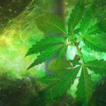 Kendertér - A marihuána hatásával rokon vegyületeket is termelünk sportolás közben - marihuana 150x150