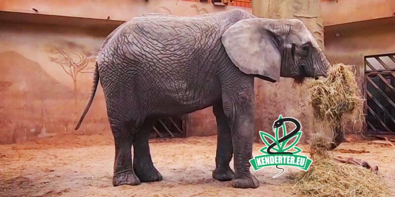 A lengyel állatkert CBD-t tesztel az egyik elefánt szorongásának kezelésére - Kendertér - kender - kannabisz