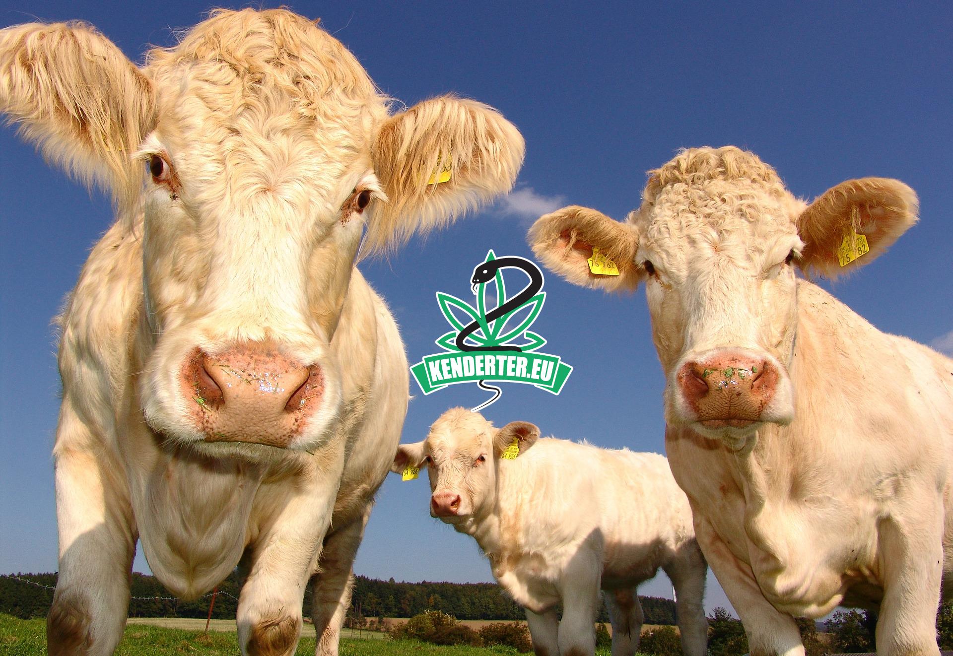 A tehenek vajon ehetnek kendert anélkül, hogy a tejivók készen lennének?