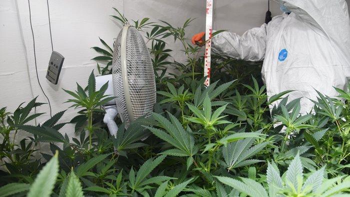 Lebukott a marihuánakertész testvérpár - így számítják ki a marihuána hatóanyagét - Városi Kurír