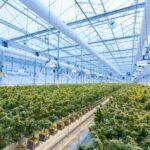 Németországban az állam támogatja a kannabisz termesztést